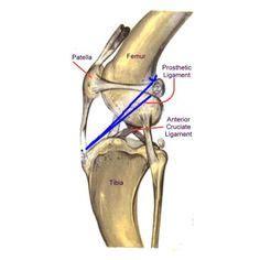 figure  illustration   anatomy   dogs knee