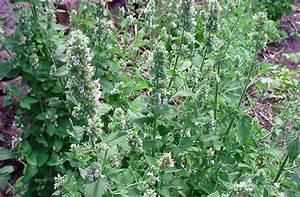 Comment Chasser Les Mouches : les plantes pour chasser les mouches et les moustiques ~ Melissatoandfro.com Idées de Décoration