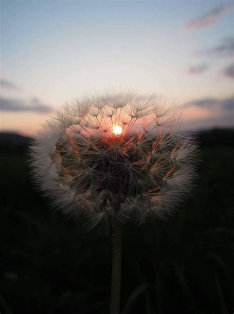 sunset dandelion aesthetic sunsets nature