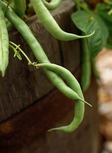 Growing Beans  Bush And Pole