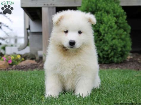 17 Best Images About Lovable Puppies For Sale On