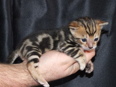 cat for free bengal cats cats