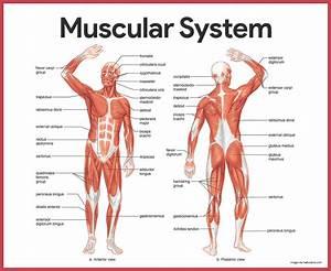 5th Grade Science Muscular System Diagram Quiz