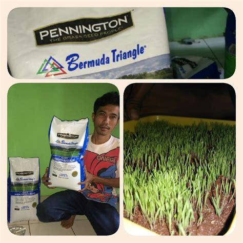Biji Rumput Bermuda Grass supplier benih rumput biji rumput grass seed biji