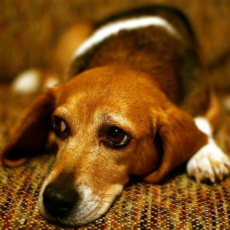 sad puppy dog eyes flickr photo sharing