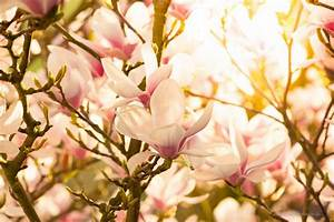 Magnolie Blüht Nicht : der fr hling gibt sein stelldichein die magnolie bl ht ~ Buech-reservation.com Haus und Dekorationen