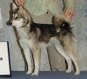 17 Best images about miniature huskies on Pinterest | Cute ...