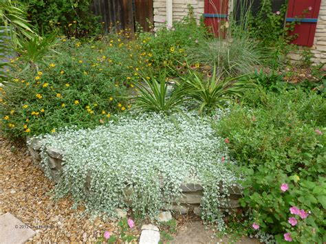 Perennial Ground Cover Plants Texas