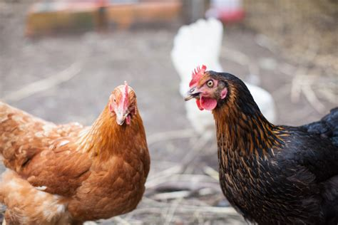 Caring For Chickens In Backyard by How To Care For A Backyard Chicken Family