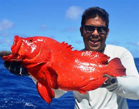 ou cephalopholis vielle aurantia doree fishing rod club euthynnus