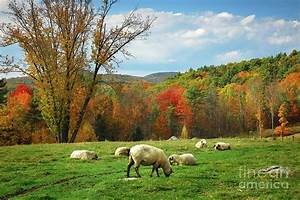 Pasture - New England Fall Landscape Sheep Photograph by ...