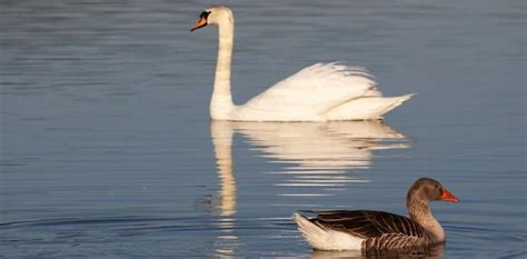 He constantly harrassed and chased them away. What is the difference between a Swan and a Goose ...
