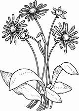 Coloring Pages Daisy Flower Bouquet Wildflower Daisies Drawing Colouring Printable Colornimbus Adult Roses Getdrawings Books Searches Recent sketch template