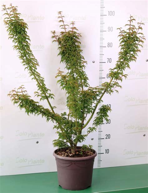 acero giapponese in vaso acero giapponese quot crispifolium quot vendita piante
