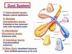 Cells Of Striated Ducts