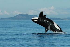 Why Menopause Happens  Killer Whales Shed Light On Human