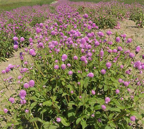 globe amaranth flowers and herbs lovejoy farms