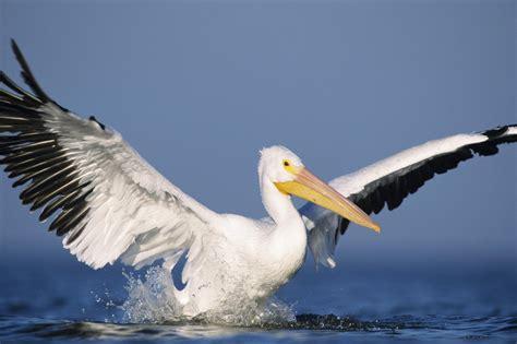 White Pelicans (pelecanus Erythrorhynchos).