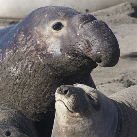 elephant seals national geographic
