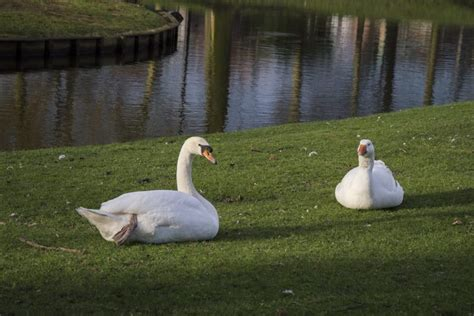 They have short legs with webbed feet that help them swim and dive. Goose Vs Swan: Differences And Similarities | DecoyPro
