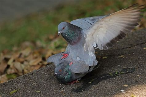 "Rock Pigeon ""kissing"" – Bird Ecology Study Group"