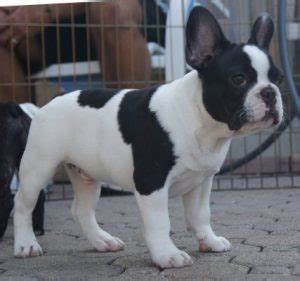 Black And White Pied French Bulldogkindofpets | kindofpets