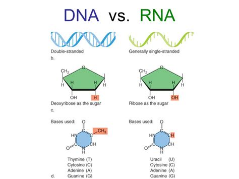 Rna Vs Dna  The Differences  Dna Encyclopedia