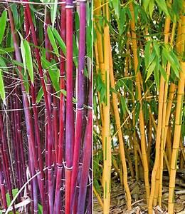 Bambus Im Garten : bambus rarit ten kollektion immergr ne hecke bei baldur garten ~ Markanthonyermac.com Haus und Dekorationen
