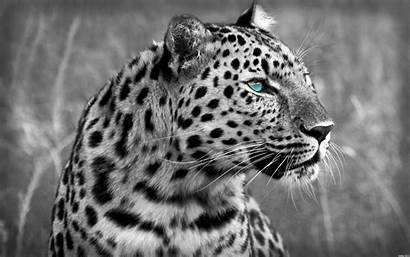 Predator Animals Animal Species Leopard Wallpoper Creature