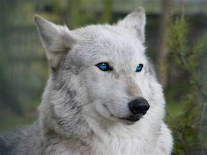 white wolves with bright blue eyes - Google Search | white ...