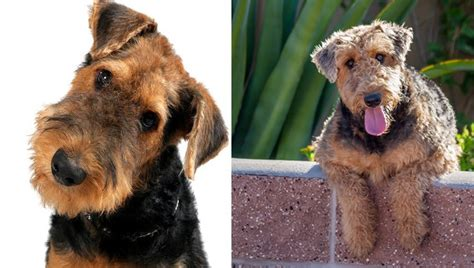 11 Things That You Have To Endure Of Your Welsh Terrier