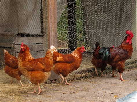 Chickens (Gallus gallus domesticus) | chickens at the ...