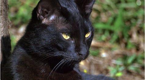 croiser un chat noir porte malheur http francais rag