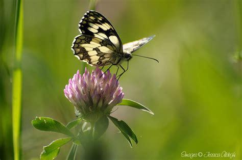 immagini tatuaggi fiori e farfalle immagini di farfalle e fiori