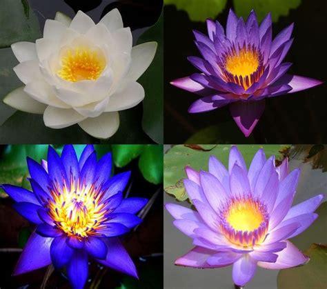 lotus flower colors mix lotus 15 colors waterlilly flower kamal nelumbo