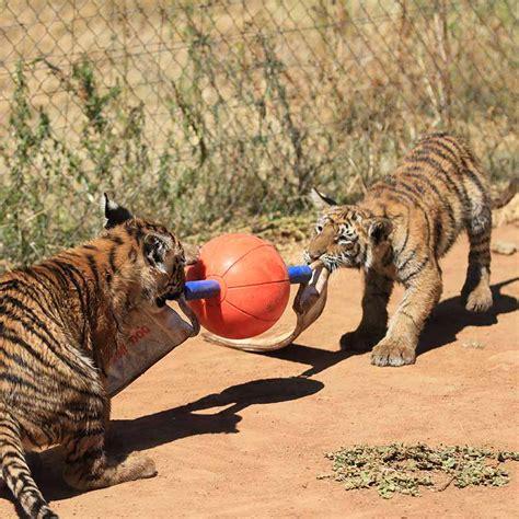 zoo carnivores enrichment toys animals dog ungulates aussie carnivors marine primates monkeys