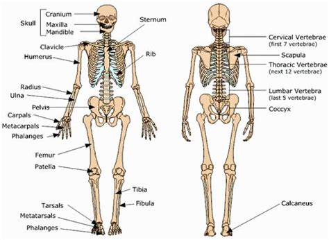 Basic Bone Diagram by Your Skeletal System Baseline Of Health