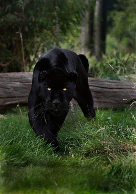overall magnificents 25 best ideas about panther pictures on black