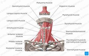 Diagram    Pictures  Muscles Of The Anterior Neck  Anatomy