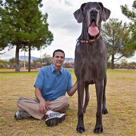 George Great Dane Biggest Dog