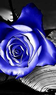 Free download blue rose wallpapers blue rose desktop ...