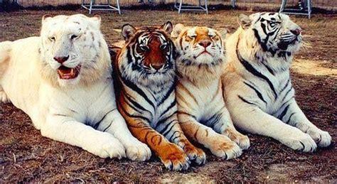 Tiger Newiphonewallpapers Animals