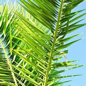Phoenix Canariensis Pflege : palmier phoenix canariensis en pot de 15cm hauteur avec ~ Lizthompson.info Haus und Dekorationen