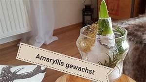 Amaryllis Im Glas : tisch deko mit amaryllis im glas weihnachten 2017 deko amaryllis youtube ~ Eleganceandgraceweddings.com Haus und Dekorationen