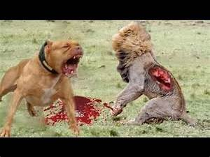Dog Vs Lion Fight | www.pixshark.com - Images Galleries ...