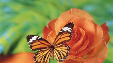mariposa naranja  fondos de pantalla