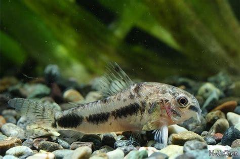 corydoras habrosus salt  pepper cory  fish