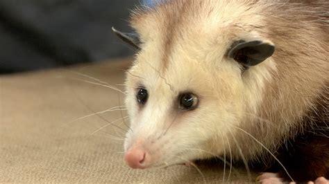 Backyard Animals by Meet Backyard Animals An Opossum A Gila And A