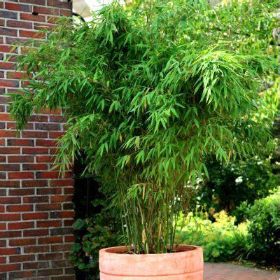 fargesia rufa en pot bambou fargesia jumbo id 233 e