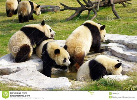 panda pandas gruppe eine groep een bears spelen less exotic wild bamboo